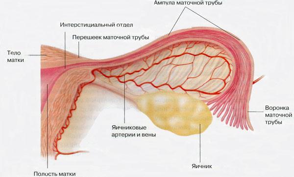Строение фаллопиевой трубы