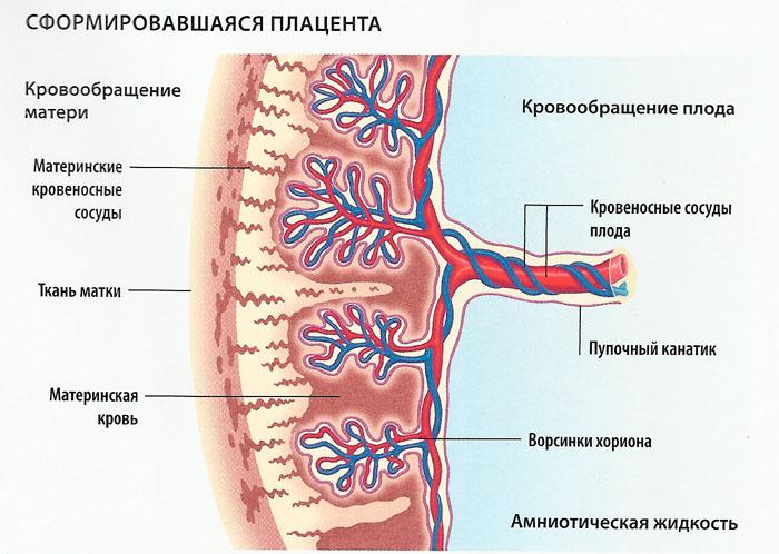 Строение плаценты