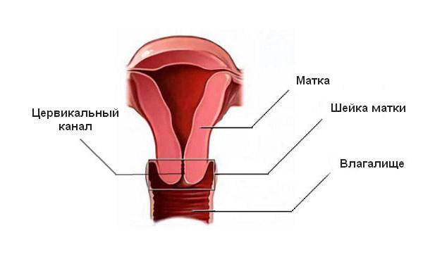 Что такое цервикальный канал при беременности