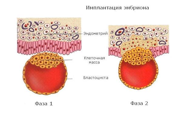 Фазы имплантации эмбриона