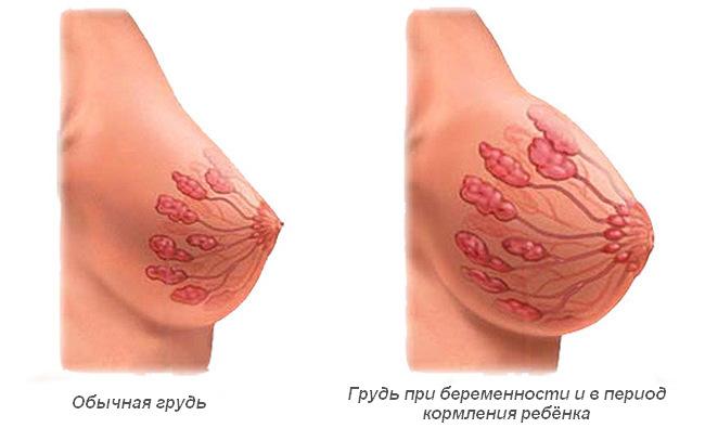 Молочная железа после родов при лактации